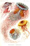 Профиль -jellyfish