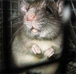Профиль Rattus_norvegicus