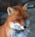 ������� Fox_Lana