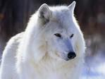 Профиль white_wolf-80