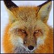 Профиль Cool-Fox