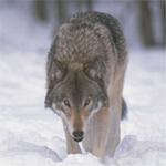 Профиль Волк_Баюн