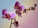 ������� orchideya