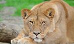 Профиль Lioness_I_am