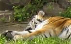 Профиль tigr-raa
