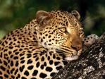 Леопард - Животные - Обои для рабочего стола - Загрузка изображения.