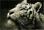 ������� Gvardii_Tigra