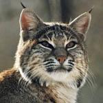 ������� Wild_Katze