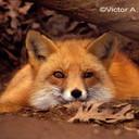 ������� Foxyfox