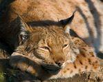 ������� Lynx_Rufus