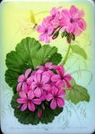 ������� Pelargonium_and_others